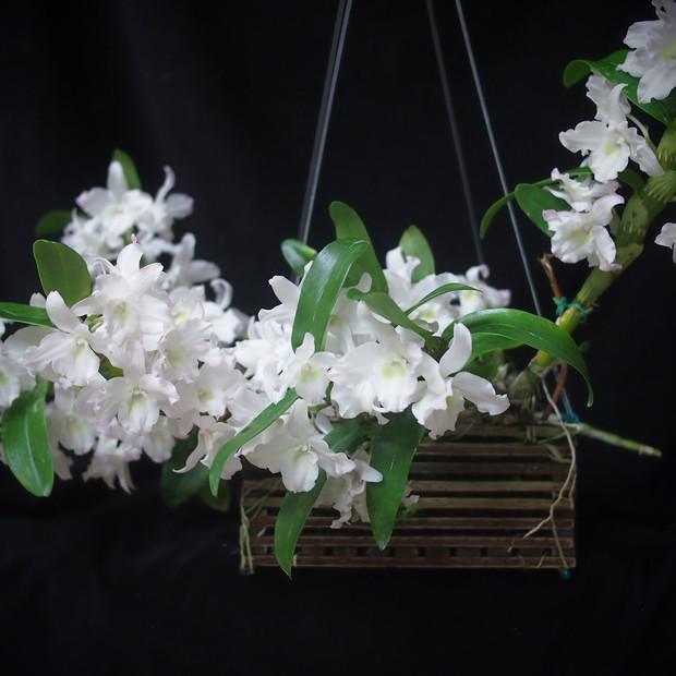 Den. nobile white
