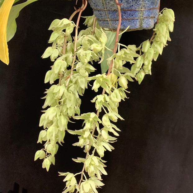 Clowesia russelliana