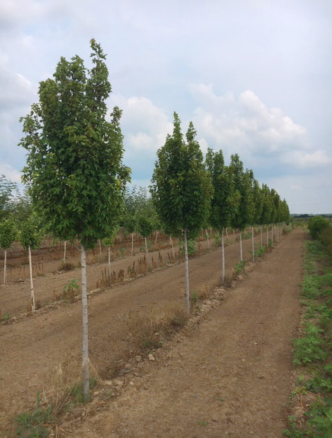 CR Nelson Shade Trees