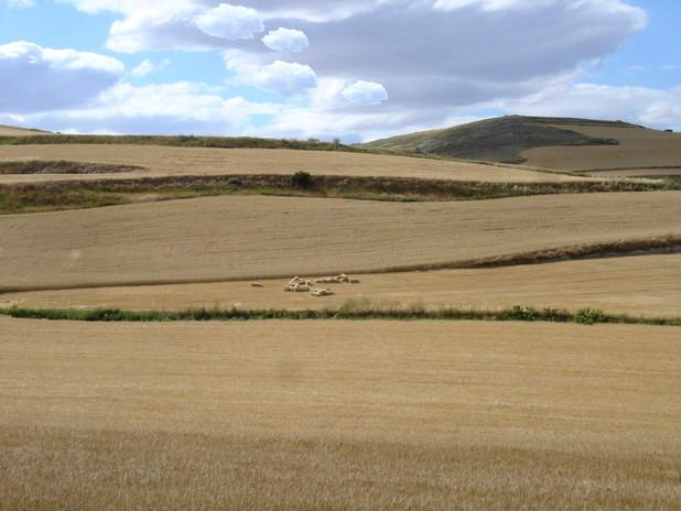 06campo de trigo con nubes.jpg