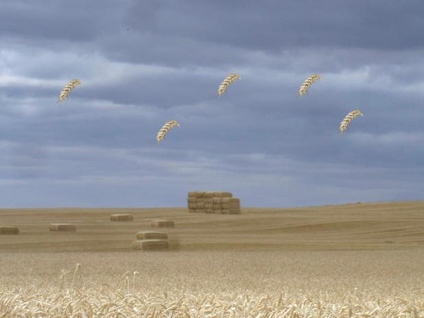 02campo de trigo con espigas.jpg