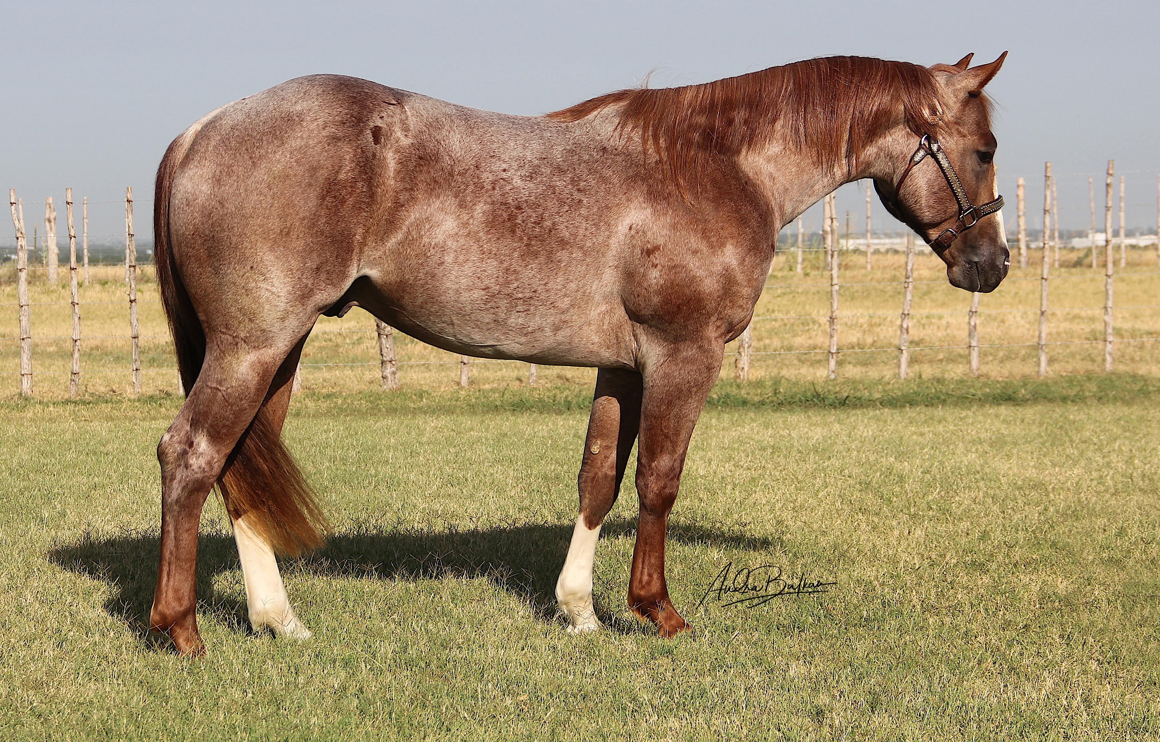 ~ 2016 Stallion ~ SOLD ~