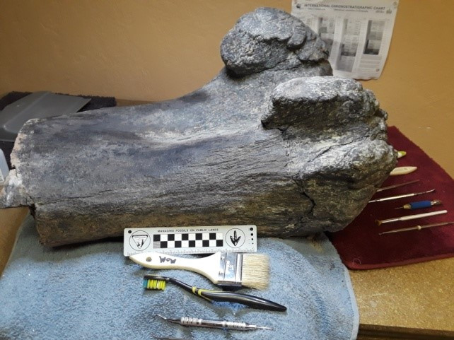 Apatosaurus knee joint after preparation