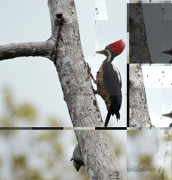 lineated woodpecker 1