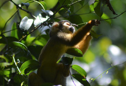 squirrel monkey 26Aug good