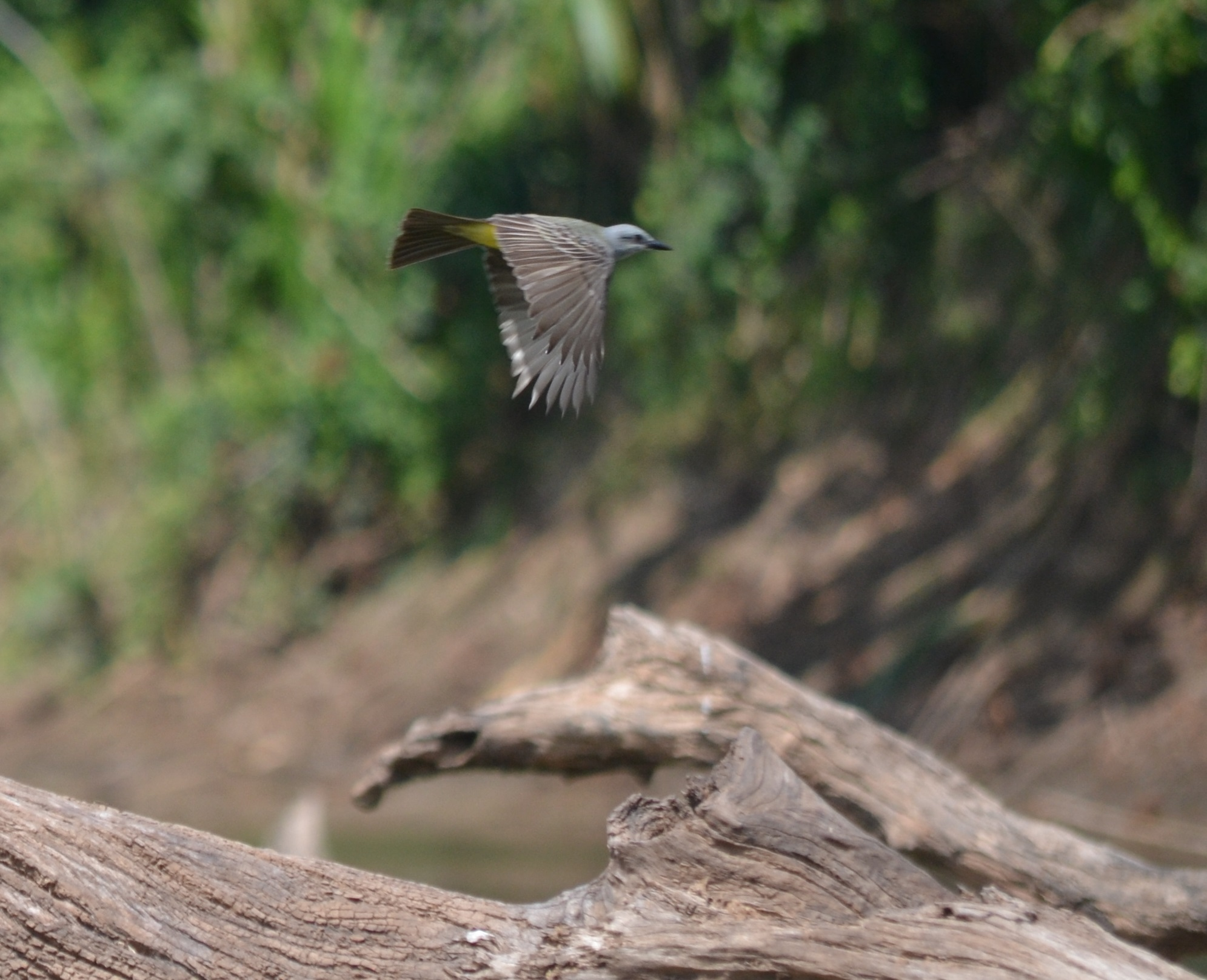 tropical_kingbird07Aug2014