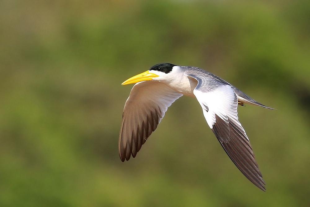 Large-billed Tern (Phaetusa simplex). Photo by Charles J. Sharp.