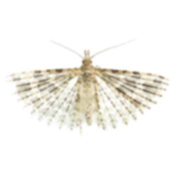 Twenty-plumed Moth