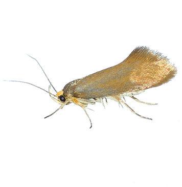 Golden-brown Tubic