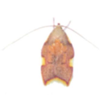 Long-horned Flat-body