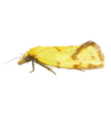Common Yellow Conch