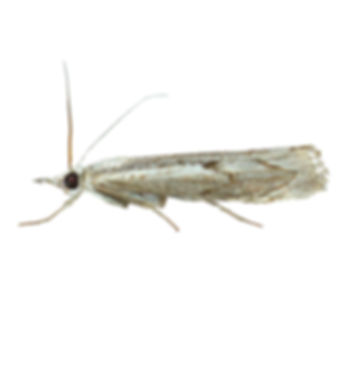 Elbow-stripe Grass-veneer