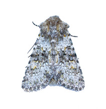 A New Moth for North Wales