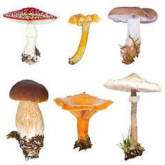 Mushroomguideatoz.jpg