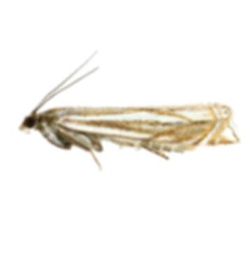 Hook-streak Grass-veneer