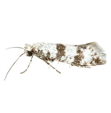 Hawthorn Moth