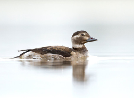 Long-tailed Duck, Rhyl, 25/11/2018
