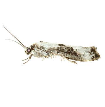 Ash-bud Moth