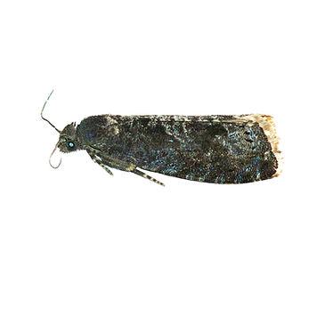 Plum Fruit Moth