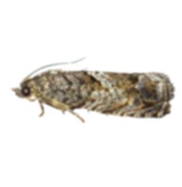 Large Beech Piercer