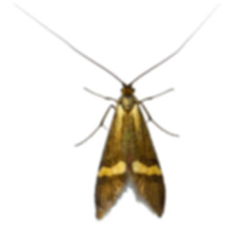 Yellow-barred Long-horn