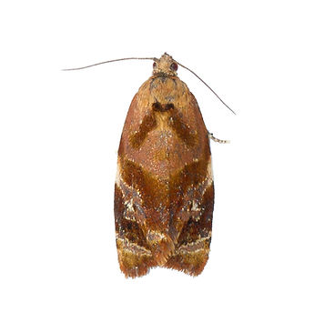 Red-barred Tortrix