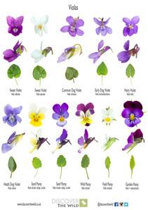 Viola ID and Sweet Violet Liqueur