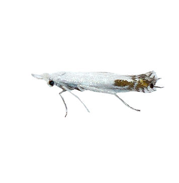 Apple Leaf-miner