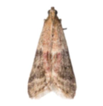 False Cocoa Moth