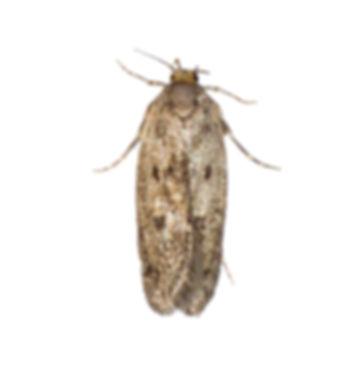 Brown House Moth