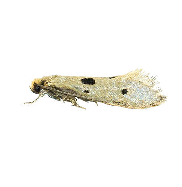 Bird's-nest Moth