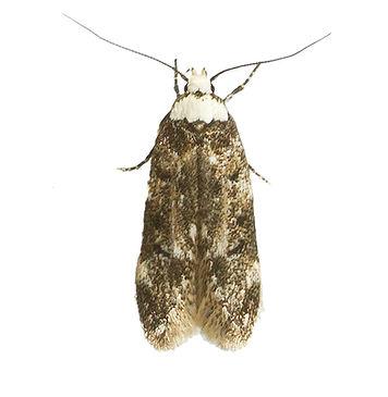 White-shouldered House Moth