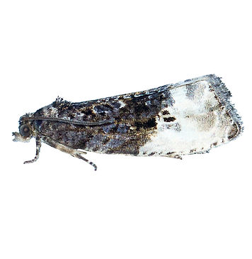Marbled Orchard Tortrix