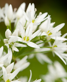WildGarlic1web.jpg