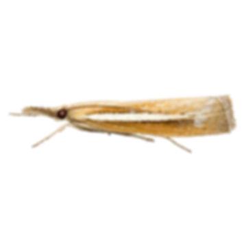 Common Grass-veneer