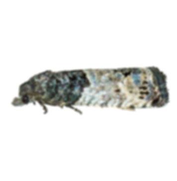 Bud Moth