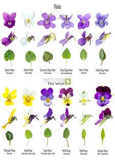 Violasweb.jpg