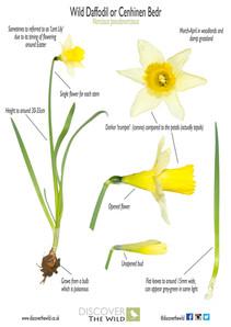 St David's Day Wild Daffodil