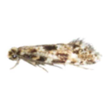 Cork Moth