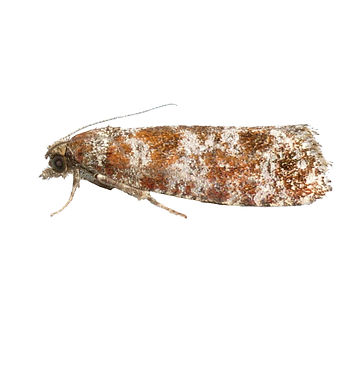 Spotted Shoot Moth