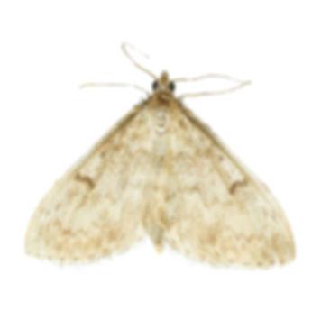 Fenland Pearl