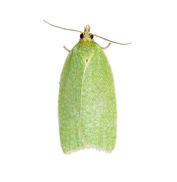 Green Oak Tortrix