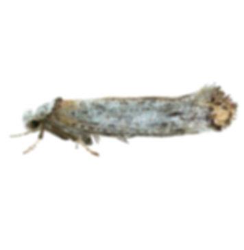 Copper-tipped Ermel