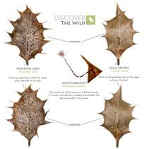 Holly Leaf Fungi Challenge