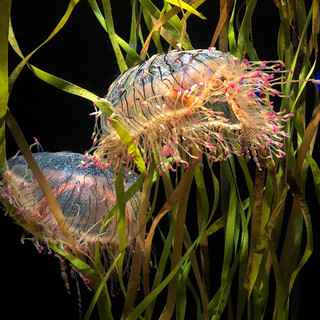 Waltz of the Flower Hat Jellies