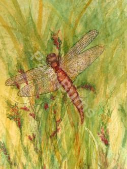 Vernal Pool Dragonfly