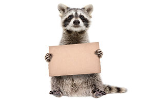 Funny raccoon standing with a cardboard