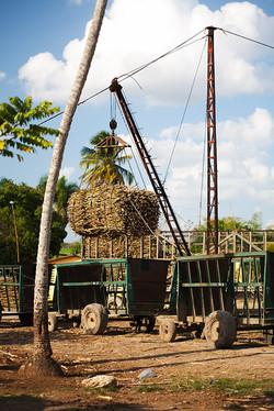 Sugar Cane Production