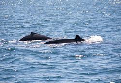 Whales at Samana