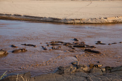 Hippos swimming, Tsavo Est National